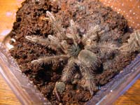Theraphosa blondi 4te Fresshaut