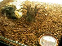 Adultes Theraphosa blondi Männchen